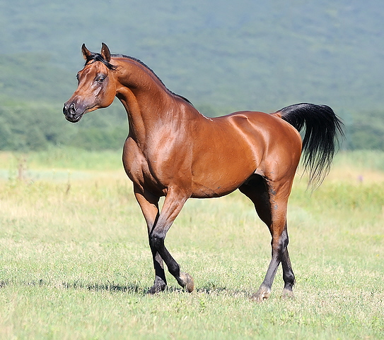 Beautiful brown horses running